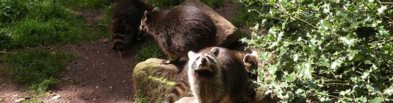 Ratons laveurs du Zoo de Jurques